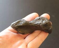 Fossil Sloth metapodial Megalonyx leptostomus Early Pleistocene Florida