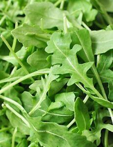 WILD ROCKET 350 Seeds PERENNIAL vegetable garden EASY GROW salad arugula herb