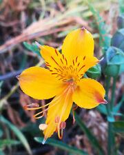Alstroemeria aurea - Golden Inca Lily - Hardy perennial - 60 SEEDS