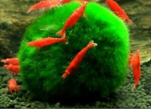 12 young Red cherry shrimp - Freshwater Neocaridina  Shrimp. Live Guarantee