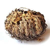 Live Resurrection Plant - Rose of Jericho Dinosaur Plant Air Fern Spike Moss 1pc