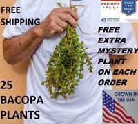 25 Bacopa plants live aquarium plants aquascaping planted tank beginner easy