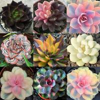 100Pcs Mixed Rare Succulents Plant Seeds Garden Balcony Perennial Bonsai