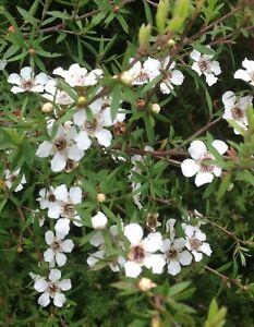 White Manuka - 500 seeds - Leptospermum scoparium - from New Zealand