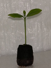 Lemon Tree, Citrus limon osbeck Plug Plant.