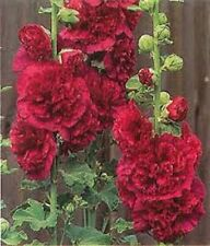 30+ Alcea Double Hollyhock Red Flower Seeds / Perennial