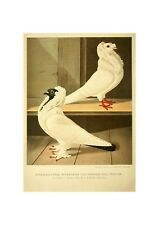 Pigeons Illustration German Birds Lithograph Print by Gustav Prutz 1884 Buch