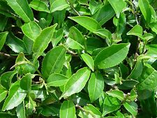 100 Green Tea Plant Seeds - Camellia sinensis, also known as Tea Plant, Tea Tree