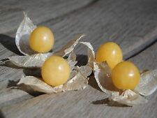 Cossack Pineapple GROUND CHERRY Physalis Pruinosa Organic Heirloom 100 Seeds