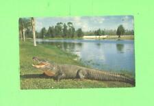 F POSTCARD FLORIDA ALLIGATOR GATOR POST CARD