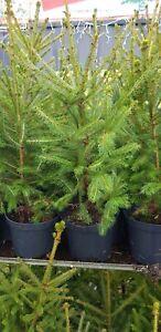 CHRISTMAS TREE  LIVE Pot grown Spruce 1-2 Ft