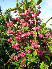 Pfaffenhütchen Euonymus europaeus 40-60cm Frühlingsblüher Beerengehölz
