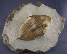 Russian trilobite Megistaspidella triangularis (SCHMIDT 1906).