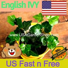 English Ivy plant common ivy Hedera helix fast grow climb evergreen 10 LIVE Cut