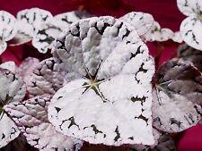 "Begonia Plant Silver Dollar 4"" Pot Rex Rhizomatous"