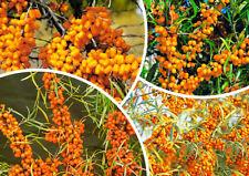 100pcs Sea Buckthorn Hippophae Rhamnoides Tree Seeds Mixed Fruit Bonsai Plant