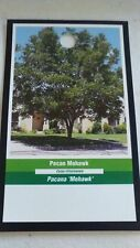 MOHAWK PECAN TREE Shade Trees Live Healthy Plant Large Pecans Nuts Wood Garden
