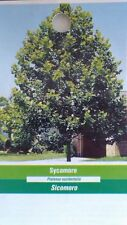 4'-5' live SYCAMORE Tree Plant Large Trees Healthy Hardy Plants Easy to Grow Now
