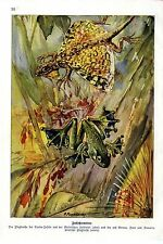 P. Flanderky Fallschirmtiere Flugdrache Flugfrosch Sunda- Inseln Kunstdruck 1931