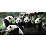PANDA COLLECTIBLES
