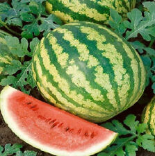Watermelon Seeds 50 Crimson Sweet Melon 88 days