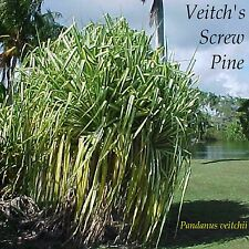 ~VEITCH'S SCREW PINE~ Pandanus veitchii Variegated form PU HALA Small Potd Plant