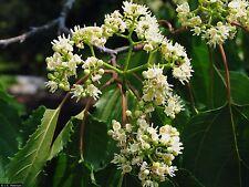 Japanese Raisin Tree Seed Sweet Edible Fruit Frost Tolerant Hovenia dulcis
