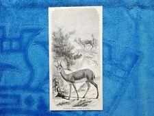 Gravure Année 1861 - Gazelles du Sàh'ra - Gazzelle del Sahara