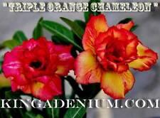 """ADENIUM OBESUM DESERT ROSE ROSY """" TRIPLE ORANGE CHAMELEON """" 10 SEEDS NEW HYBRID"""