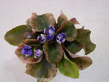 New listing African Violet!Senk's Cascade!Wasp!