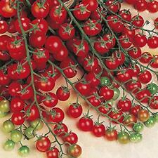 Cherry Tomate Golden Pearl F1 platzfeste Früchte Tomaten Samen sehr früh