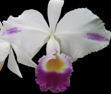 "C. trianae splash x C. triana coerulea; Young plant in 3.5"" pot; Rare species"