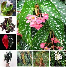 100 PCS Seeds Begonia Bonsai Flower Plants Color Leaf Perennial Free Shipping N