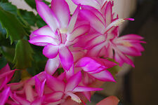 Pink Christmas Zygo Cactus Flowering House Plant  - Schlumbergera Truncata