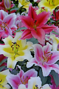 1,3, 6 Flower Bulbs Lilies,Oriental Mixture,Preorder,Delivery Date Note