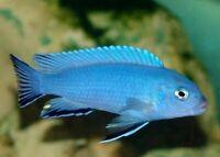 Cobalt Blue Zebra Cichlid - (Metriaclima callainos) Live