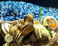 X1 Giant Columbian Ramshorn Snails Aquarium Algae Clean Up Crew Rare Aquatics
