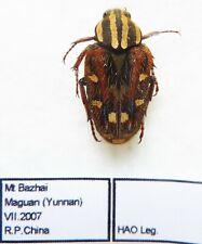 Cetoniidae ssp  (1 ex A1) from CHINA (Cetoniidae)
