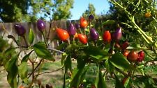 NuMex Centennial Chili - 10+ seeds - MULTICOLOURED and WONDERFUL!