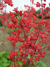 Heuchera Firefly Seeds Perennial Frost Tolerant Clumping Plant Beaut Red Flower