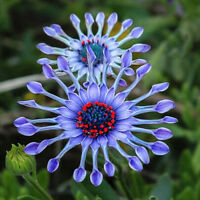 50PCs Rare Blue Daisy Flower Seeds Exotic Ornamental Flowers Garden Plant Decor
