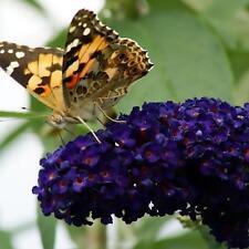 Buddleia Davidii Black Knight Butterfly Bush Shrub Jumbo plug plant