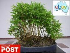 30 X MOSO BAMBOO TREE SEEDS / BONSAI