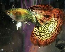 New listing Live Guppy Red Dragon 2 young females