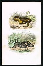 1847 Venomous Spearhead Viper Snake - Antique Hand-Colored Print, Lacepede