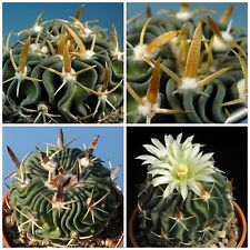 10 semi di Echinofossulocactus tricuspidatus ,piante grasse,seeds cactus