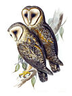 "Vintage John Gould Australian Bird Art CANVAS PRINT~ Barn Owl 24""X16"""