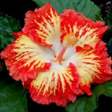 20 Orange Red Hibiscus Seeds Giant Dinner Plate Flower Garden Exotic Plant 443