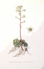 PLANCHE ANCIENNE BOTANIQUE RECTO/VERSO. SAXIFRAGE DES ROCHERS (FL1)