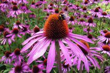 Purple Coneflowers/Eschinacea Seeds - 125 seeds